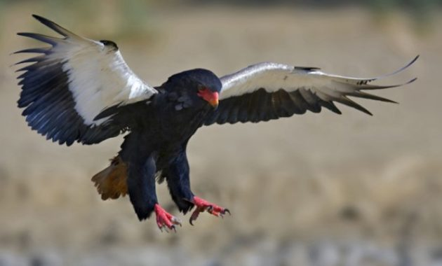 Types of Eagles: Bateleur Eagle
