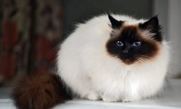 beautiful cat breeds : Birman
