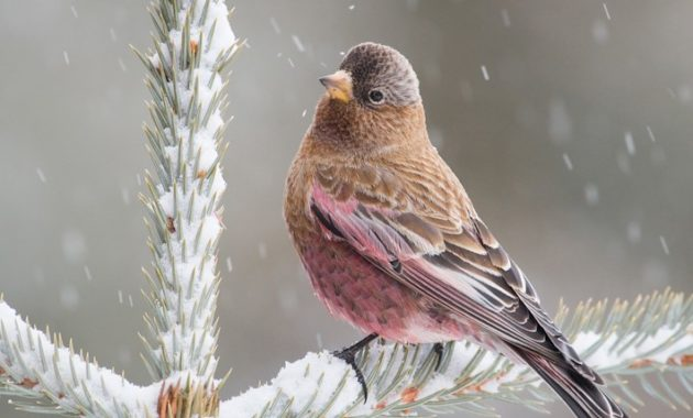 beautiful pink colored bird : Brown-capped Rosy-Finch