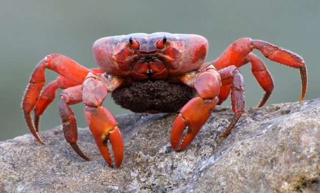 a list of beautiful animals with red colored : Christmas Island Red Crab