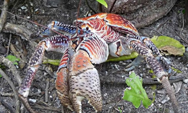 animals that start with c : Coconut Crab