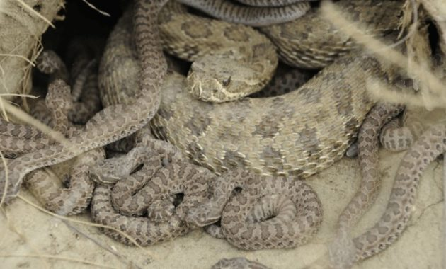 Fact About Rattlesnake and Their Babies