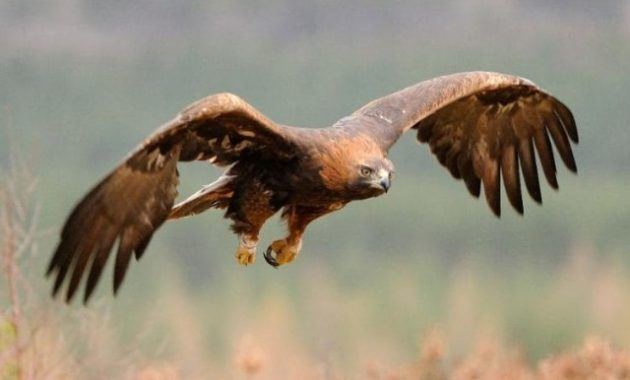 Types of Eagles: Golden Eagle