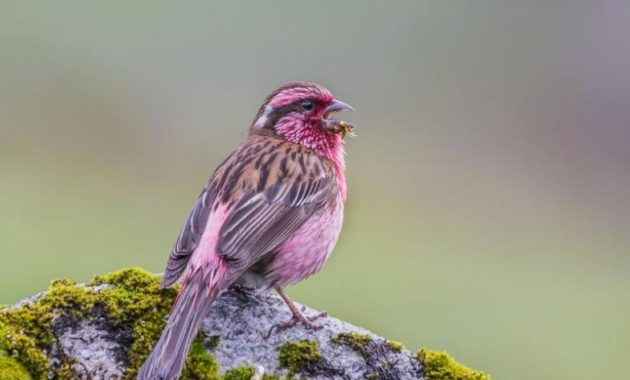 beautiful pink colored bird : Himalayan White Browed Rosefinch