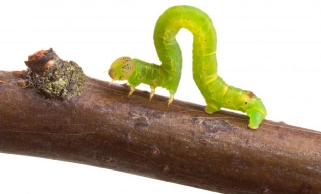 animals that start with i : Inchworms