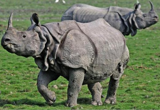 amazing armored animals : Indian Rhinoceros