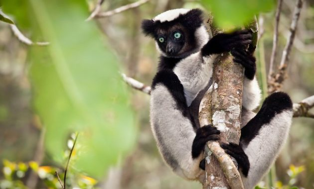 animals that start with i : Indri