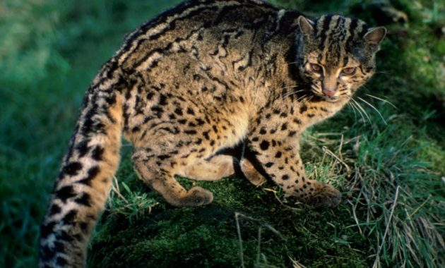animals that start with i : Iriomote Cat