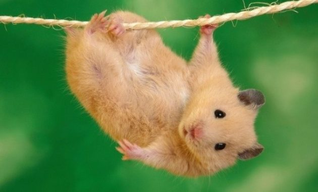 fact of syrian teddy bear hamster