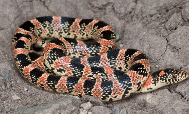 Colorful Small Snake : Long-nosed Snake