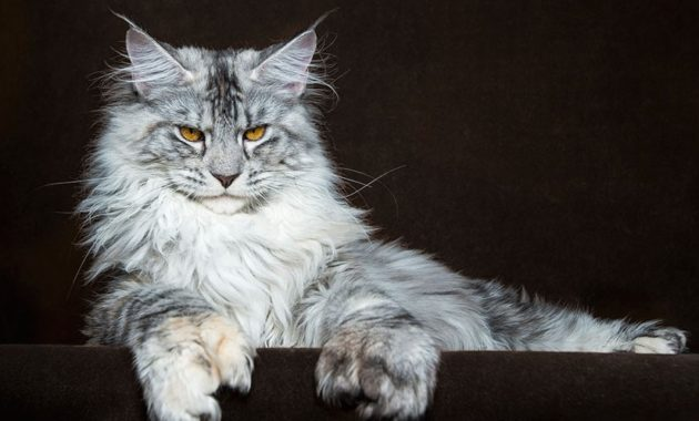beautiful cat breeds : Maine Coon