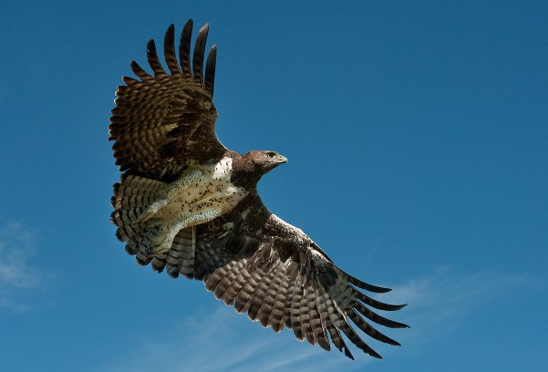 Types of Eagles: Martial Eagle