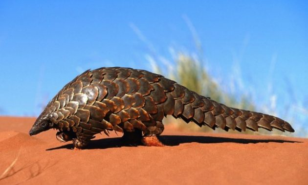 amazing armored animals Pangolin