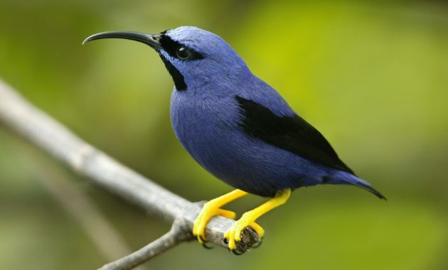 Beautiful Purple Colored-Birds: Purple Honeycreeper