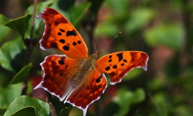 a list of beautiful animals with red colored : Question Mark Butterfly