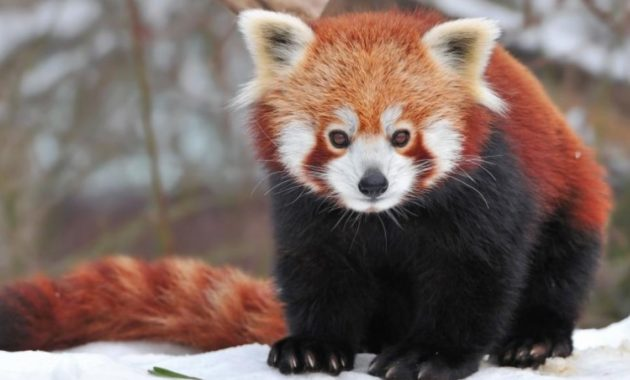 a list of beautiful animals with red colored : Red Panda