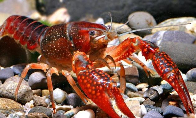 a list of beautiful animals with red colored : Red Swamp Crayfish