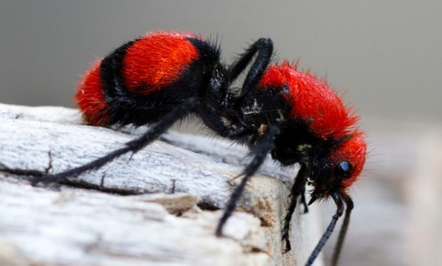 a list of beautiful animals with red colored : Red Velvet Ant