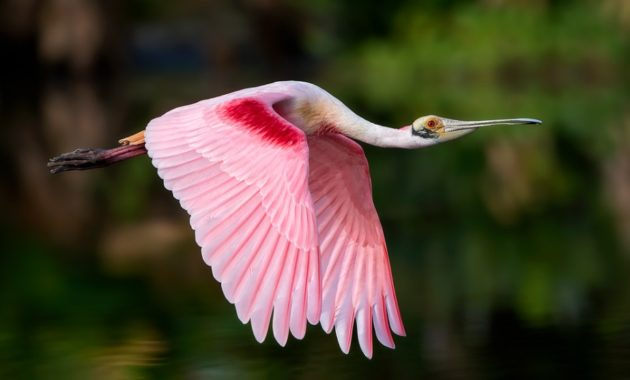 beautiful pink colored bird : Roseate Spoonbill
