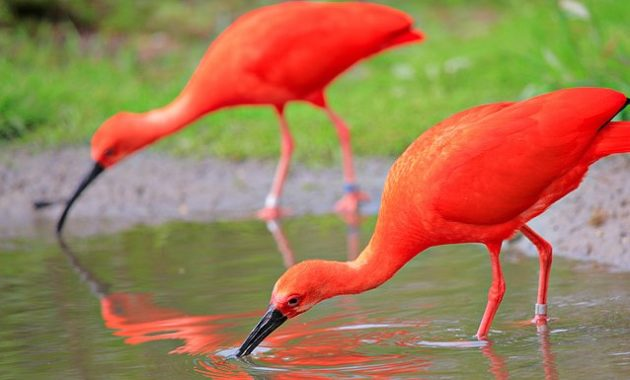 a list of beautiful animals with red colored : Scarlet Ibis