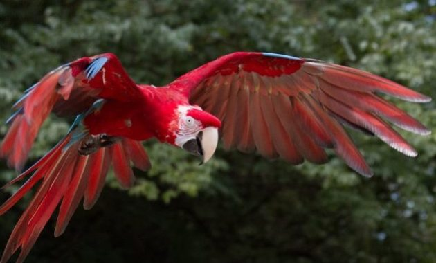a list of beautiful animals with red colored : Scarlet Macaw