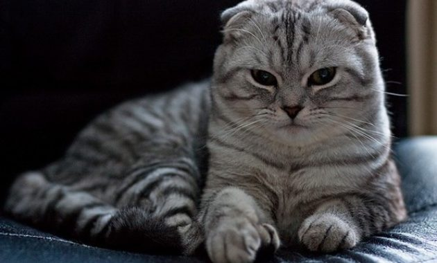 beautiful cat breeds : Scottish Fold