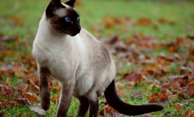 beautiful cat breeds : Siamese Cat