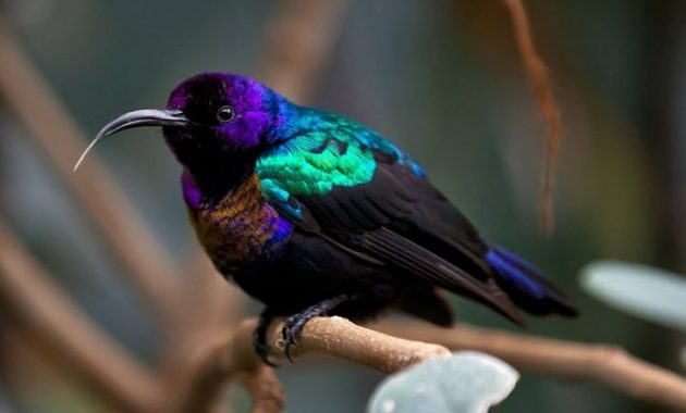 Beautiful Purple Colored-Birds: Splendid Sunbird