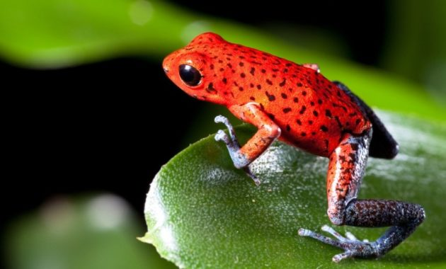 a list of beautiful animals with red colored : Strawberry Poison Frog