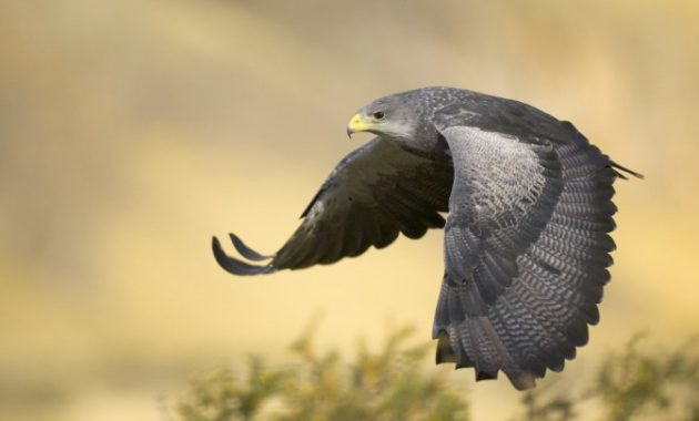 Types of Eagles: The Black Chested Buzzard Eagle
