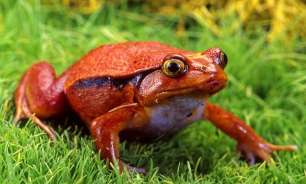 a list of beautiful animals with red colored : Tomato Frog