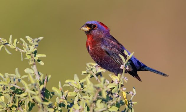 Beautiful Purple Colored-Birds: Varied Bunting