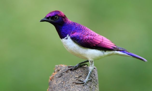 Beautiful Purple Colored-Birds: Violet-Backed Starling