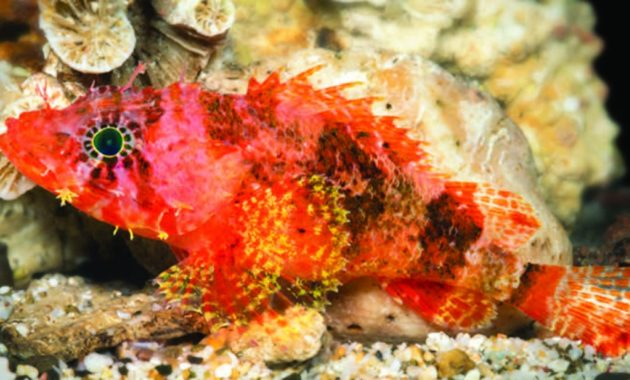 a list of beautiful animals with red colored : Western Scorpion Fish