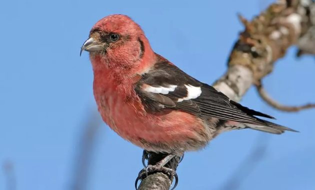beautiful pink colored bird : White-winged Crossbill