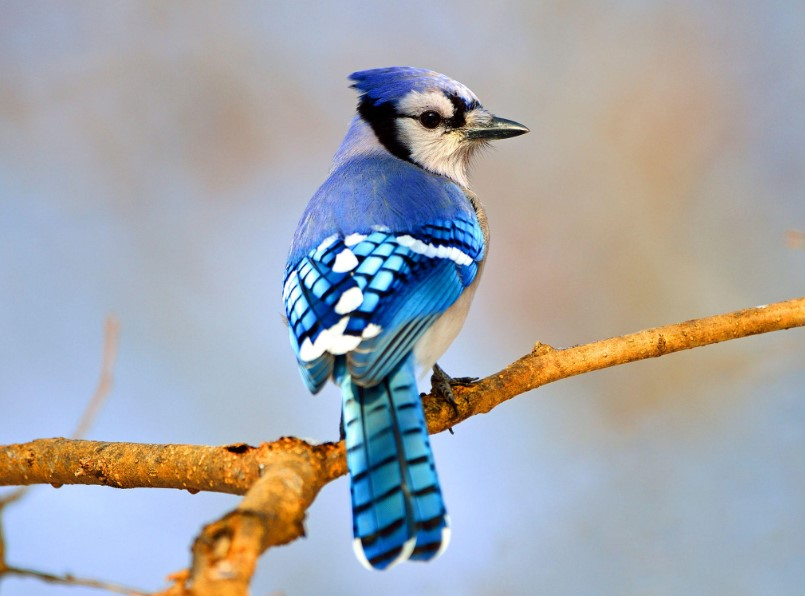 10 Amazing Blue Colored Birds in The World