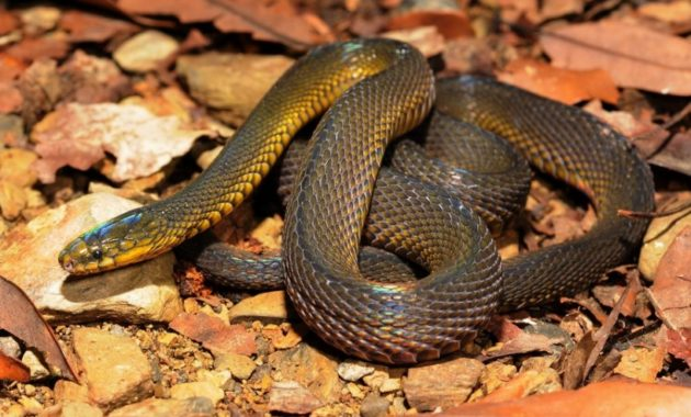 Colorful Small Snake : formosa odd