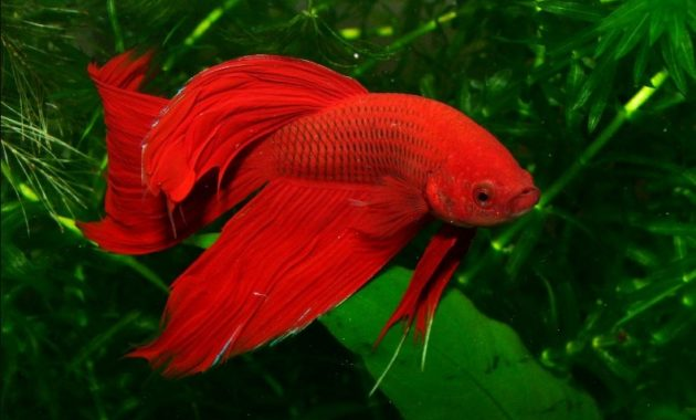 a list of beautiful animals with red colored : red siemese fighter fish
