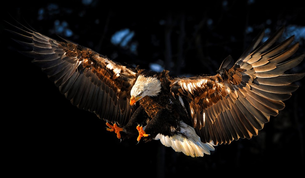 11 Famous Types of Eagles in The World With Awesome Pictures