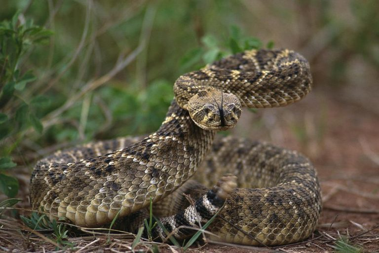 6 Fact About Rattlesnake and Their Babies
