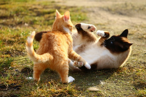 About Cat: Are My Cats Fighting or Playing?