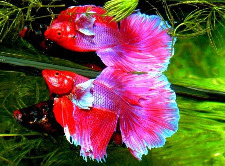 About betta fish how to raise a healthy betta fish for Healthy betta fish