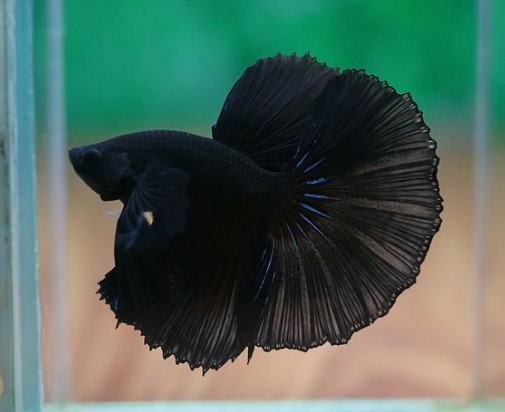 Black Betta Fish