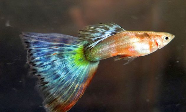 ypes of Guppies In The World