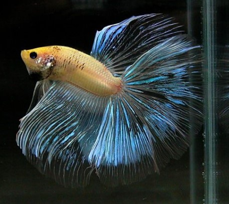 Cellophane Betta Fish