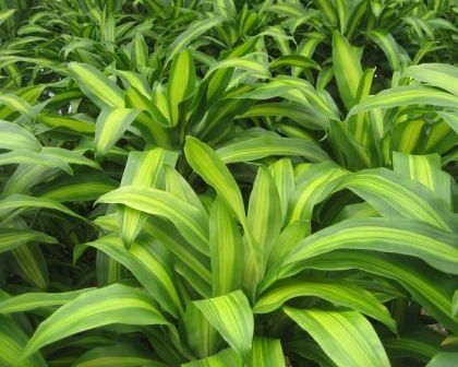 Quick Introduction And How To Take Care Chinese Happy Plants