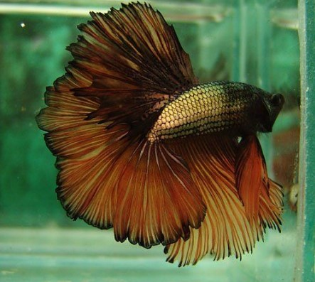 Copper Betta Fish