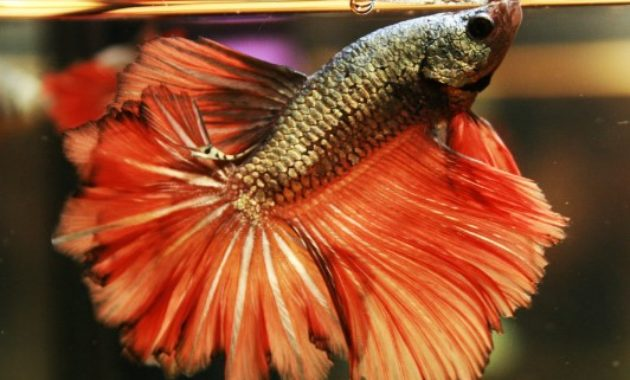 Beautiful Types of Betta Fish with Amazing Pictures