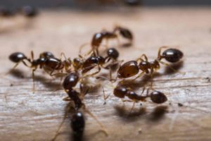 The Truth About Fire Ant Bites | Fire Ants