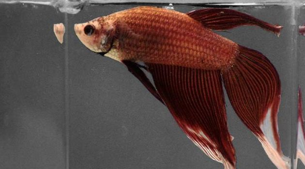 How to Raise a Healthy Betta Fish